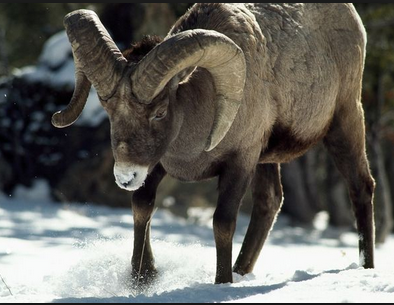 ram bigh horn sheep rocky mountain
